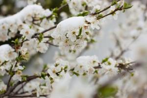 Voćari - zaštitite svoje voćke od niskih temperatura!