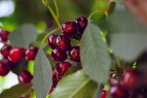 Divlja trešnja: Cijenjeno drvo za proizvodnju sadnog materijala i očuvanje bioraznolikosti