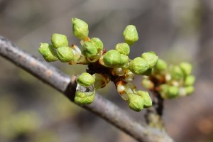 Dobro za voćke: Zahlađenje usporilo vegetaciju