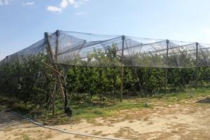 Ulaganja za savremen zasad trešnje do 40.000 evra - u petoj godini i zarada