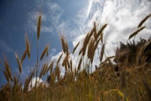 Tritikale u ishrani stoke u poređenju sa drugim žitaricama