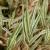 Trstika - trava za ukras, ali i za hranidbu stoke