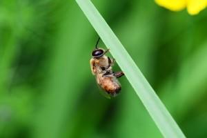 Trutovi osjetljiviji na bolesti od medonosnih pčela