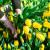 Vrijeme je za sadnju lukovica tulipana!