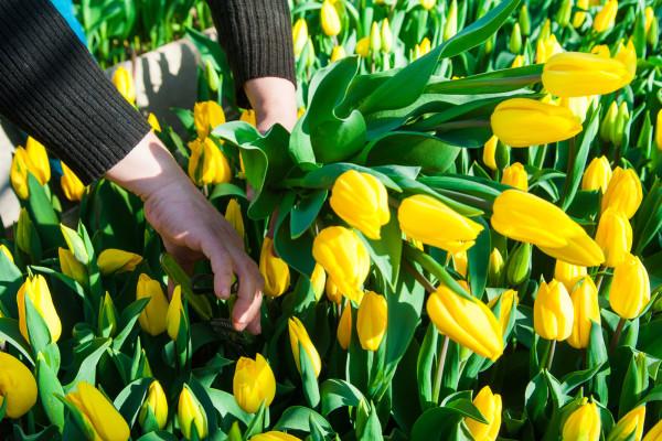 Vreme je za sadnju lukovica tulipana!