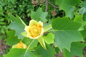 Tulipanovac - drvo iz vremena dinosaura je vrlo dekorativno, ali bez mirisa