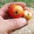 Kako se rešiti moljca paradajza na povrtarskim vrstama?