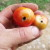 Kako se riješiti lisnog minera rajčice koji napada i druge povrtne vrste?