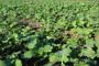 Folijarna gnojidba uljane repice u jesen