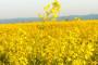 Narančaste sorte na žutim poljima