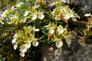 Branje trave ive na Ozrenu, kosidba na Kupresu i prašuma Perućica na listi UNESCO-a?