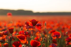 Crveni makovi: Simbol stradanja i otpora