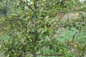 Urea se primjenjuje dok je lišće na stablu, odmah nakon berbe