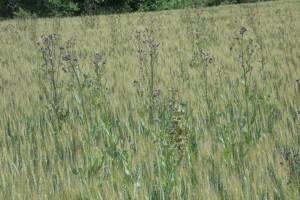 Corteva Agriscience: Lancelot 450 WG zaustavlja rast osjetljivih korova u vrlo kratkom roku