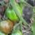 Protiv zelenog uvenuća paradajza, borite se direktno na parceli