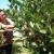 Uzgajivači aronije na mukama - otkupna cena skoro kao troškovi berbe