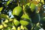 Kako uzgojiti avokado iz koštice?