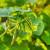 Proizvodnja kornišona - kako sprečiti bolesti i insekte?