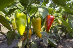Bolesti i insekti paprike kod uzgoja na otvorenom