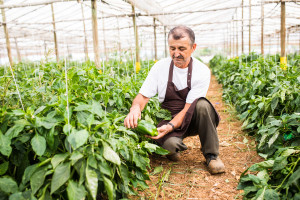 Proizvodnja paprike u plasteniku - od sjemena do ploda