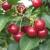 Po hektaru se očekuje do tri tone višnje - proizvođači se nadaju višim cenama