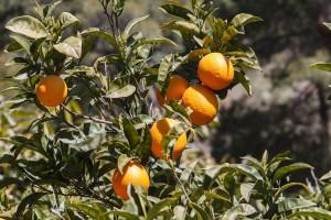 U godinu dana povećali površine pod nasadima naranče za 50%