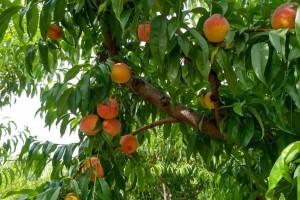 Dudova štitasta vaš: Narušava izgled plodova i iscrpljuje biljku