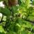 Primenite ove prirodne preparate u borbi protiv lisnih vaši