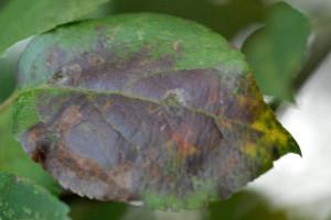 Krastavost jabuke - infekciji pogoduje nestabilno vrijeme