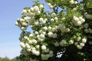 Najljepše cvjetne ograde sa Viburnum vrstama