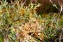 Vilina kosica - opasan parazit mnogih biljaka