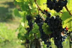Prnjavorački zet na sjeveru Bosne proizvodi vino za francusko tržište