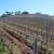 Za podizanje novih ili restrukturiranje vinograda stolnih kultivara 70 milijuna kuna