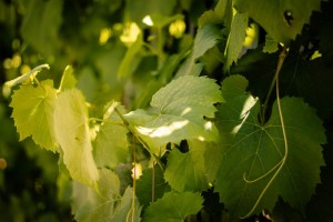 Značaj zaperaka vinove loze i kako ih pravilno ukloniti