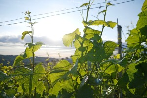 Kako pravilno obaviti ljetnu rezidbu vinove loze