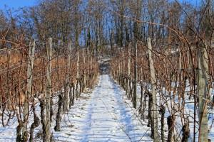 """I bolesti prezimljavaju u vinogradu - za plamenjaču potrebne """"tri desetke"""""""