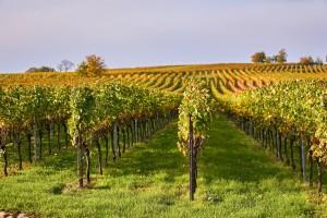 Erdutski vinogradi ponose se najvećom plantažom graševine u Hrvatskoj, ali i svijetu!