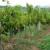 Vina iz Srema dobila oznaku geografskog porekla