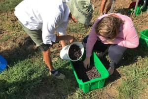 Od isušenih bobica grožđa prave najskuplje vino na svijetu
