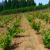 Što raditi u vinogradu prve godine poslije sadnje?