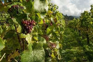 Srbija ostvarila rekordnu vrednost izvoza vina prošle godine