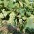 Od čega zavisi rodnost vinograda?
