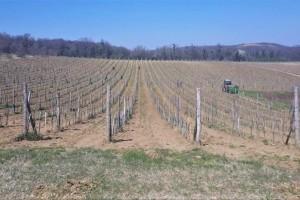 Evo kako posaditi vinovu lozu i koje agrotehničke mere sprovesti u proleće?