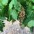 Toplotni talas spržio francuske vinograde, grožđe izgleda kao da je paljeno bacačem plamena