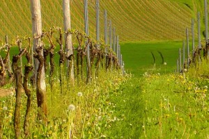 Električnim žicama protiv kasnog mraza u vinogradu?
