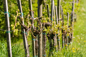 Suzbijanje američkog cvrčka na vinovoj lozi - mogućnosti i ograničenja