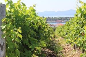 Nestat će polovina svjetskih vinograda?