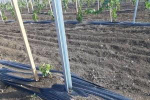 Podizanje novog vinograda: Dobro pripremite tlo i lozne kaleme