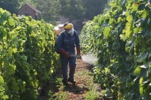 Vinogradari oprez: Siva plijesan napada stono grožđe!