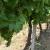 Izazovi zaštite ekoloških vinograda: Zelena rezidba, zatravljivanje, folijarna gnojidba